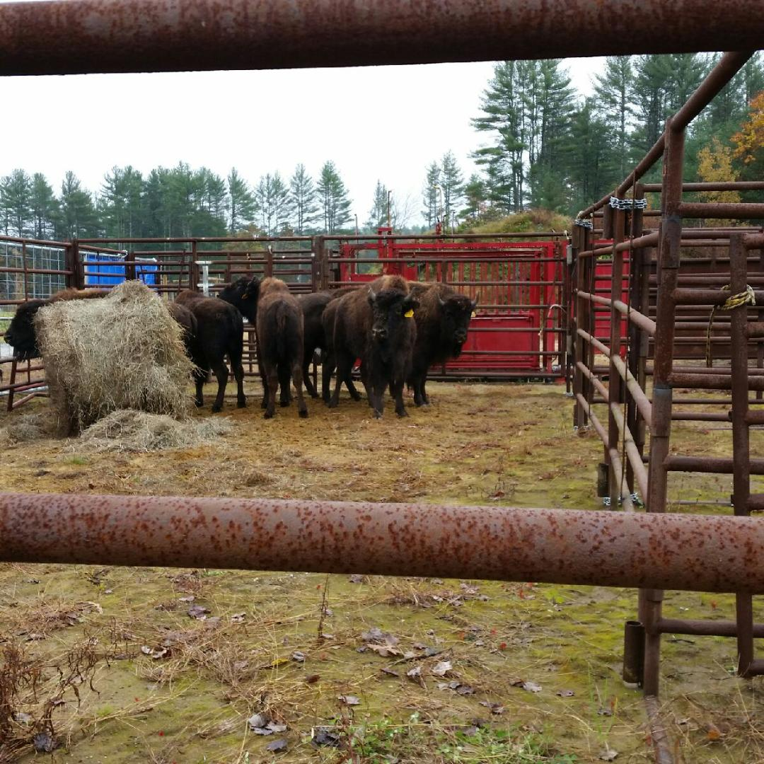 Resting in the corral
